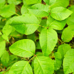Poisonous Plants to Avoid in the Wild
