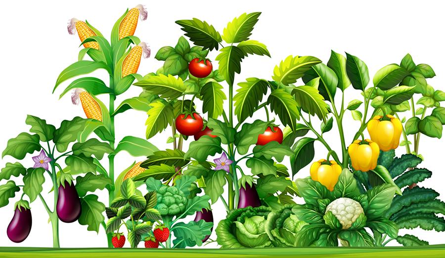 garden of crops