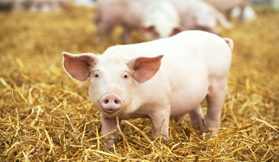 Pork prices could go through the roof